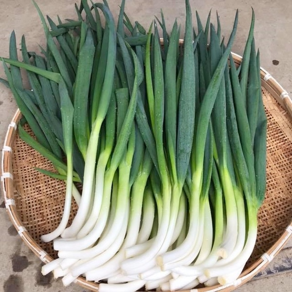 小浜市谷田部地区のブランド野菜「谷田部ねぎ」の美味しさの秘密